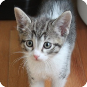Domestic Shorthair Kitten for adoption in Naperville, Illinois - Cookie