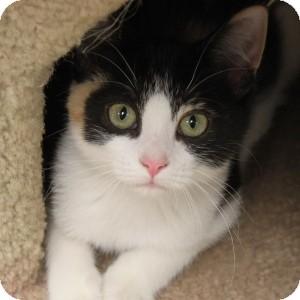 Domestic Shorthair Kitten for adoption in Naperville, Illinois - Calliope