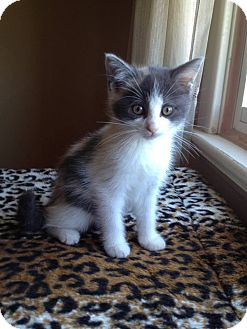 American Shorthair Kitten for adoption in Douglas, Ontario - Cleo