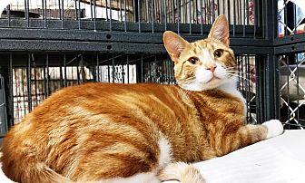 Domestic Shorthair Kitten for adoption in Freeport, New York - Lucky