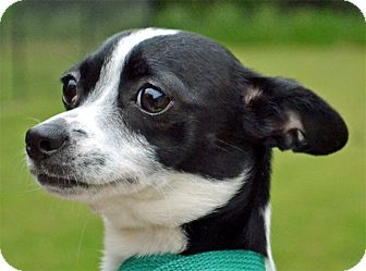 Rat Terrier Mix Dog for adoption in Searcy, Arkansas - Rosie