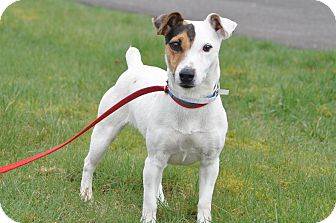 Jack Russell Terrier Dog for adoption in Tumwater, Washington - Lola