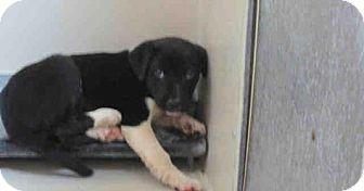 Border Collie Mix Puppy for adoption in Newnan City, Georgia - Boyd
