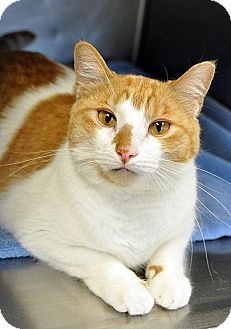 Domestic Shorthair Cat for adoption in Fort Leavenworth, Kansas - Hank