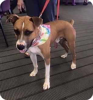 Boxer Dog for adoption in Earl, North Carolina - Max