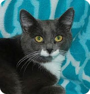 Domestic Shorthair Cat for adoption in Walworth, New York - Dayo