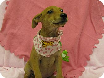 Dachshund Mix Puppy for adoption in Groton, Massachusetts - Keeley