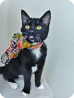 Domestic Shorthair Kitten for adoption in Chambersburg, Pennsylvania - Skunk