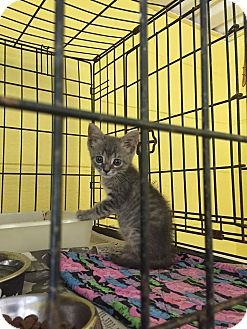 American Shorthair Kitten for adoption in Bishopville, South Carolina - Ellie