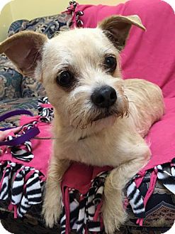 Terrier (Unknown Type, Small) Mix Dog for adoption in Maryville, Missouri - Joe