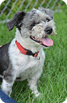 Shih Tzu/Lhasa Apso Mix Dog for adoption in Cranford, New Jersey - Charlie