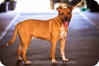 Boxer Mix Dog for adoption in Breinigsville, Pennsylvania - Chief