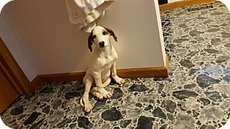 Beagle Mix Puppy for adoption in Wichita, Kansas - Jack