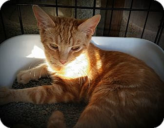 Domestic Shorthair Cat for adoption in Fairborn, Ohio - Kevin