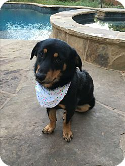 Shepherd (Unknown Type)/Corgi Mix Dog for adoption in New York, New York - Shyla