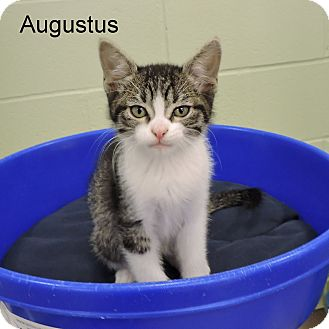 Domestic Shorthair Kitten for adoption in Slidell, Louisiana - Augustus