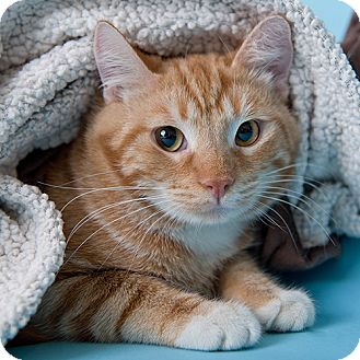 Domestic Shorthair Cat for adoption in Wilmington, Delaware - Hendricks