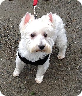Westie, West Highland White Terrier Dog for adoption in Rye, New Hampshire - Sophie