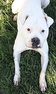 Boxer/American Bulldog Mix Dog for adoption in Sacramento, California - Pearl