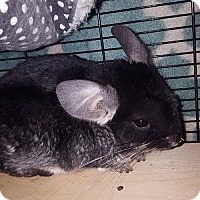 Adopt A Pet :: Rikki-Tikki-Tavi - Patchogue, NY