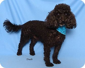 Poodle (Miniature) Dog for adoption in Kerrville, Texas - Dude