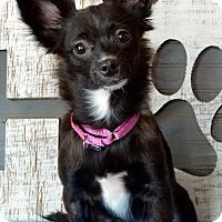 Adopt A Pet :: Diamond-ADOPTION PENDING - Bridgeton, MO