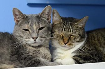 Domestic Shorthair Cat for adoption in Atlanta, Georgia - Michaela 9536