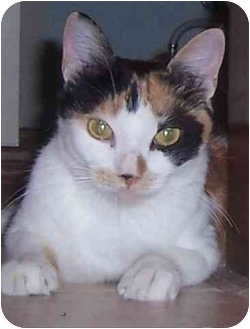 Domestic Shorthair Cat for adoption in Oklahoma City, Oklahoma - Maude