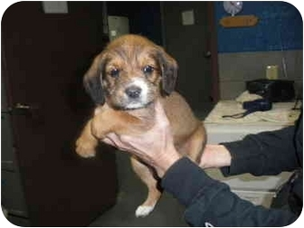 "Terrier (Unknown Type, Small) Mix Puppy for adoption in MARION, Virginia - ""Emma"""