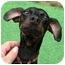 Photo 2 - Miniature Pinscher Dog for adoption in Pelzer, South Carolina - Batman