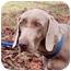 Photo 1 - Weimaraner Dog for adoption in Murfreesboro, Tennessee - Chloe