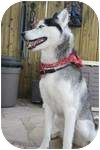 Husky Dog for adoption in London, Ontario - Diego