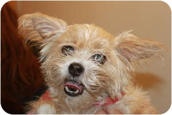 Cairn Terrier Mix Dog for adoption in Broadway, New Jersey - Diamond