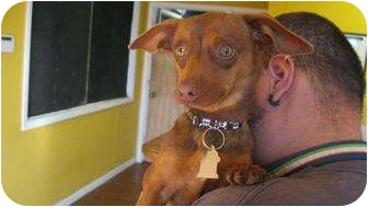 Dachshund/Chihuahua Mix Dog for adoption in Plano, Texas - James Bond