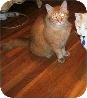 Domestic Shorthair Cat for adoption in Schertz, Texas - Garfield