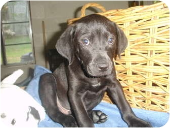 Labrador Retriever/American Staffordshire Terrier Mix Puppy for adoption in Old Bridge, New Jersey - Aros