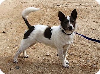Australian Cattle Dog/Rat Terrier Mix Puppy for adoption in Phoenix, Arizona - Pilot - Adoption Pending