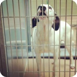 Hound (Unknown Type) Mix Dog for adoption in Columbus, Georgia - Perdy 3134
