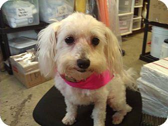 Bichon Frise Dog for adoption in Portland, Maine - Sally