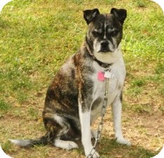 Boston Terrier/Chihuahua Mix Dog for adoption in Medford, Massachusetts - Elmo