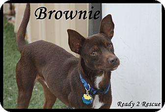 Miniature Pinscher/Rat Terrier Mix Puppy for adoption in Rockwall, Texas - Brownie