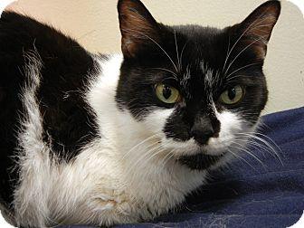 Domestic Shorthair Cat for adoption in Miami, Florida - Estelle