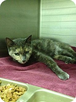 Domestic Shorthair Cat for adoption in New Egypt, New Jersey - Egypt