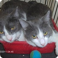 Domestic Shorthair Cat for adoption in Phoenix, Arizona - Peanut & Shadow