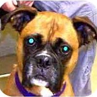 Adopt A Pet :: Shyla - North Haven, CT