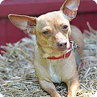 Adopt A Pet :: CupCake! - Grafton, OH