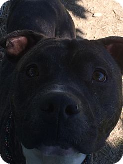 Pit Bull Terrier Mix Dog for adoption in Flint, Michigan - Ponce