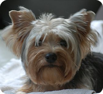 Yorkie, Yorkshire Terrier Dog for adoption in Providence, Rhode Island - Kia