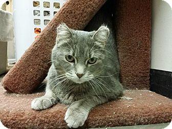 Domestic Shorthair Cat for adoption in Edmonton, Alberta - Pearl