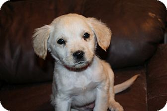Labrador Retriever Mix Puppy for adoption in Cooperstown, New York - Pippa Munchkin
